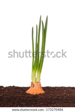 Sprouted onion in the organic soil over white background - stock photo