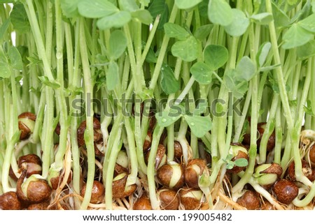 sprouted pea with roots isolated on white background - stock photo
