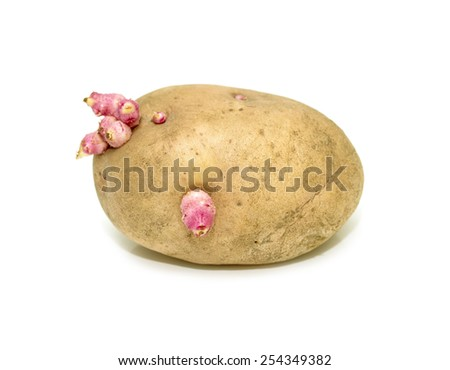 sprouted potatoes on a white background - stock photo