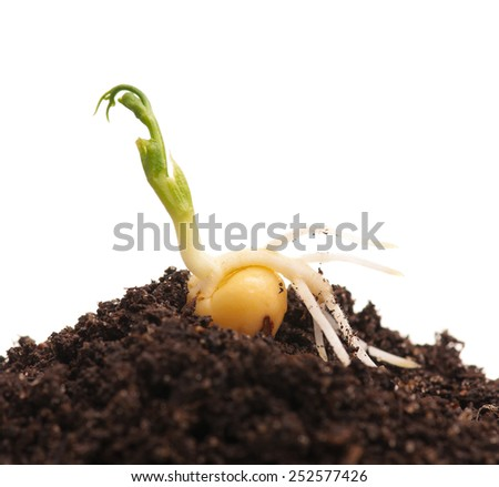 Sprouted yellow peas on organic soil with young plant over white background - stock photo