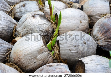 sprouting coconut - stock photo
