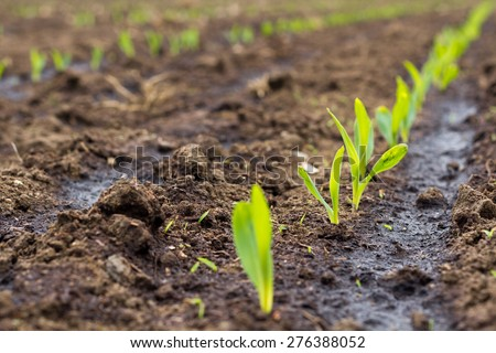 Sprouting field of maize/sweetcorn, commonly silaged and then used as a fuel in BIOGAS plants - stock photo