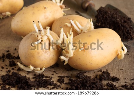 Sprouting seed potatoes ready for planting - stock photo