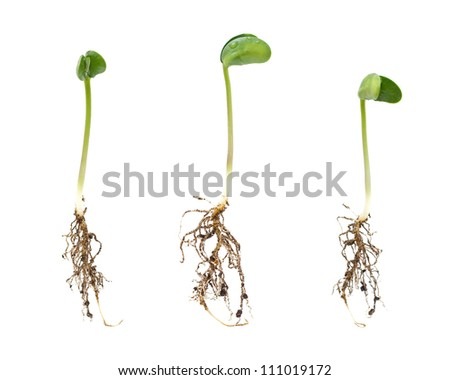 Sprouts isolated on white background