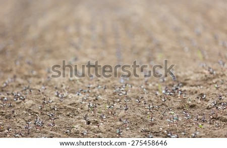 Sprouts of buckwheat. Close up of growing small buckwheat - photographed in may. - stock photo