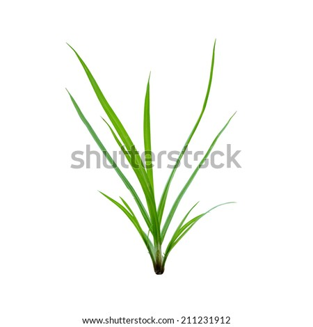 Sprouts of grass grow from the earth on white background - stock photo