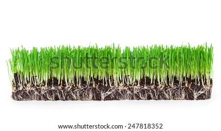 sprouts of green wheat grass on white background  - stock photo