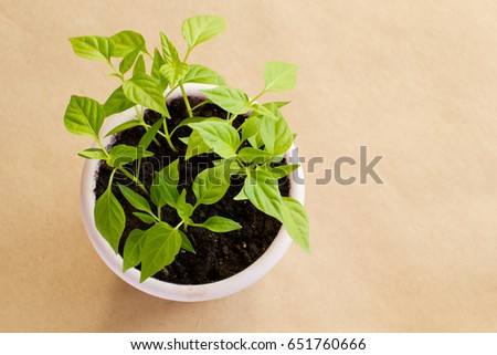 Sprouts of hot Vietnamese pepper in a purple pot on a brown craft background. Copy space.