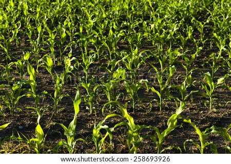 Sprouts of young corn photographed close up.