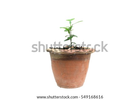 Sprouts orange tree in pot