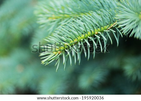 spruce branch close up macro