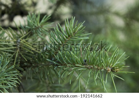 Spruce branch in the forest - stock photo