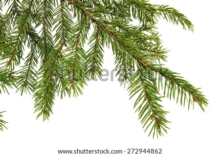 Spruce branch on a white background. Close-up.