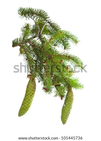 spruce branch with cones isolated on white background - stock photo