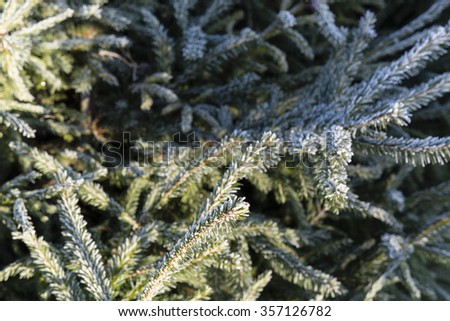 spruce branch with morning frost