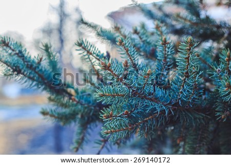 Spruce branches A background of spruce firs - stock photo