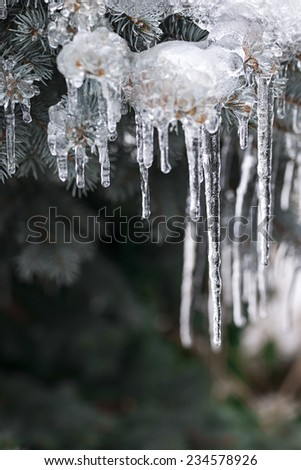 Spruce branches in winter covered with ice and long icicles, closeup, copy space - stock photo