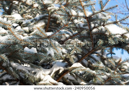 Spruce covered with snow outdoors background