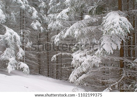 Spruce dense winter forest with snow covered branches.