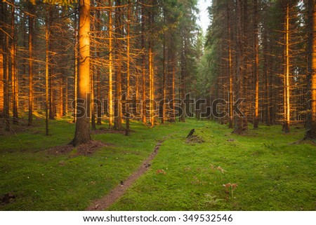 Spruce forest and path golden sunset light landscape - stock photo