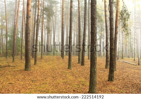spruce forest, pinery, pine forest, pinet tree, fairy forest - stock photo