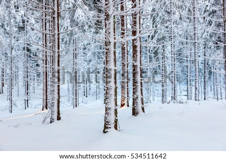 Spruce forest with snow on trees