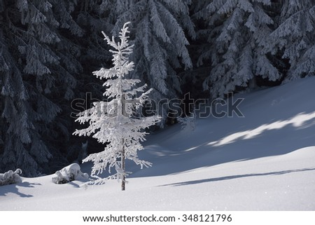 Spruce in snow. Winter in mountain forest
