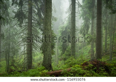 spruce mystery forest - stock photo