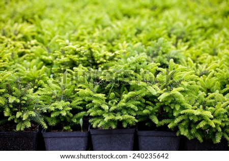 Spruce nursery - stock photo