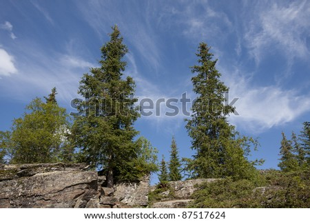 Spruce (Picea abies) - Norway
