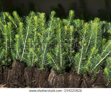 Spruce seedlings  - stock photo