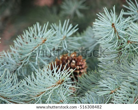 spruce tree close up photo