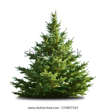spruce tree isolated on white - stock photo
