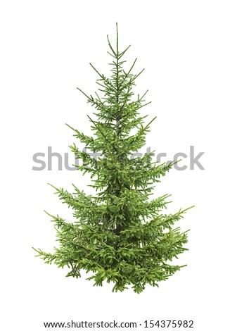 spruce tree isolated on white  - stock photo