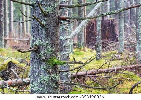Spruce tree trunk with moss i a forest - stock photo