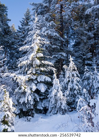 Spruce trees covered in snow. - stock photo