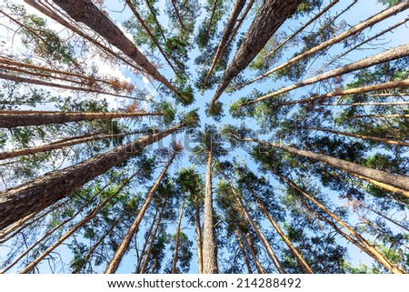 spruce trunks converge in perspective in blue sky - stock photo
