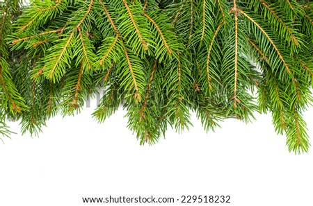 spruce twigs on a white background