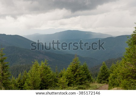 Spruces in mountains Carpathians