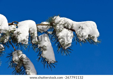 Spruces under snow and ski tracks  in sunny day - stock photo