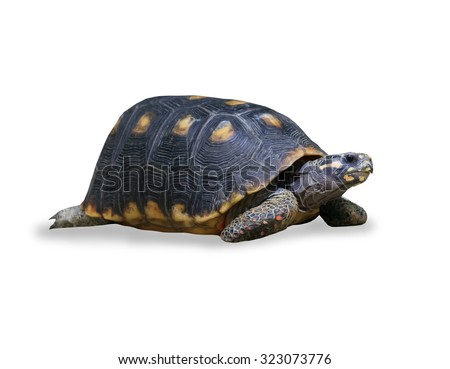 spur-thighed turtle isolated over white - stock photo