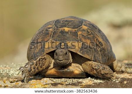 Spur thighed turtle (Testudo graeca ibera)  - stock photo