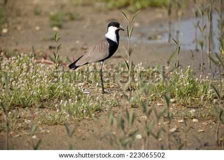 Spur-winged lapwing  - stock photo