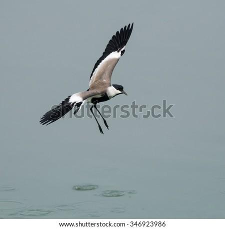 Spur-winged Lapwing Landing - stock photo