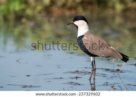 Spur-Winged Lapwing (Vanellus spinosus) standing in a shallow pond - stock photo