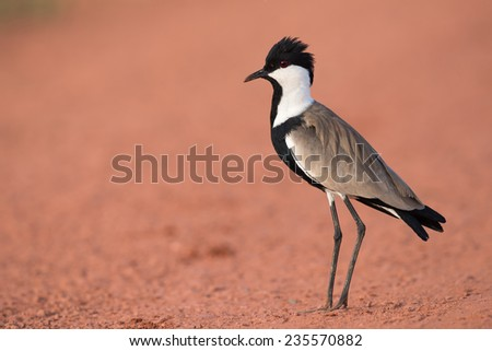 Spur-Winged Lapwing (Vanellus spinosus) standing on a red dirt road - stock photo