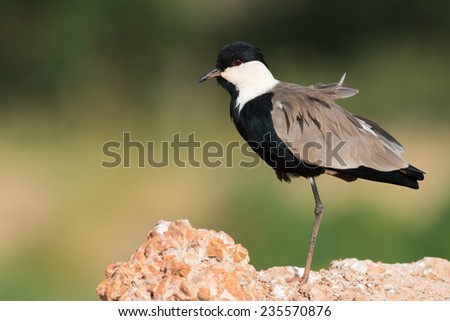 Spur-Winged Lapwing (Vanellus spinosus) standing on one leg - stock photo
