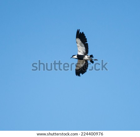 Spur-winged Plover in Flight - stock photo