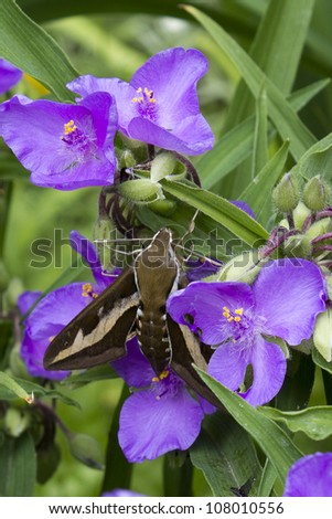 Spurge Hawk-moth (Hyles euphorbiae) on lilac flower