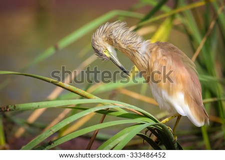 Squacco heron hunting at Marievale bird sanctuary, South Africa